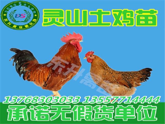 梧州鸡苗批发_优惠的广西鸡苗哪里有供应