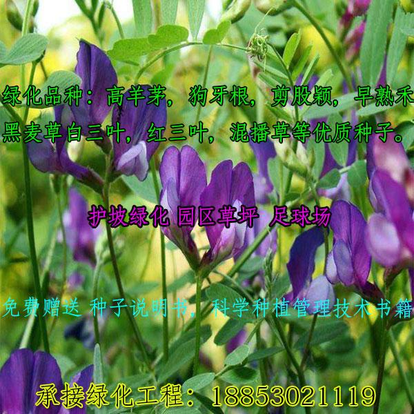 广东湛江白三叶草种子-三叶草种子-种植技术-厂商