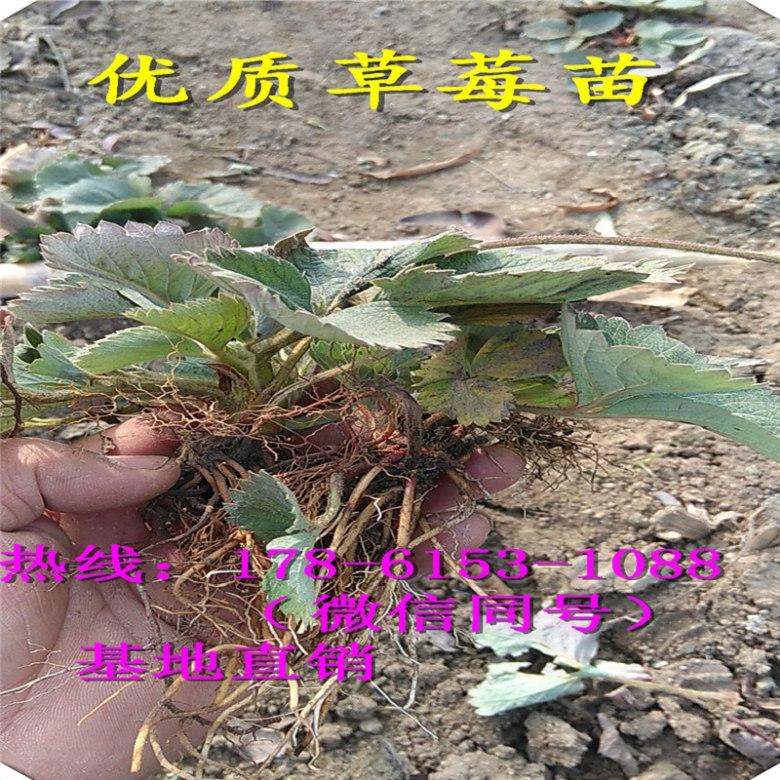 广东阳江露天种植草莓苗哪种品种高产、苗价多少钱每株