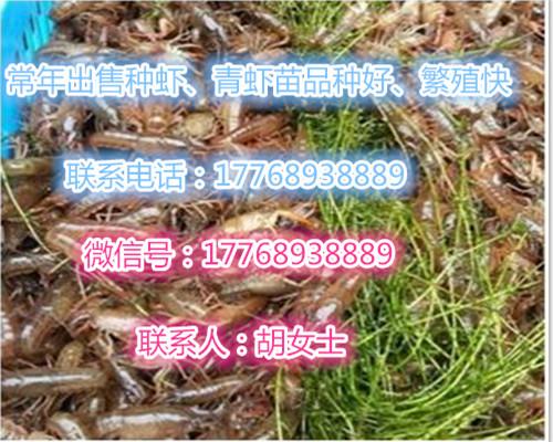 于都供应小龙虾种虾批发价格-欢迎您的咨询