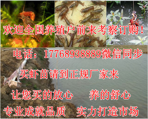 恩施-淡水小龙虾批发价格-下龙虾养殖工程
