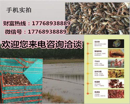 宁明供应淡水小龙虾苗怎么养殖-欢迎您的咨询
