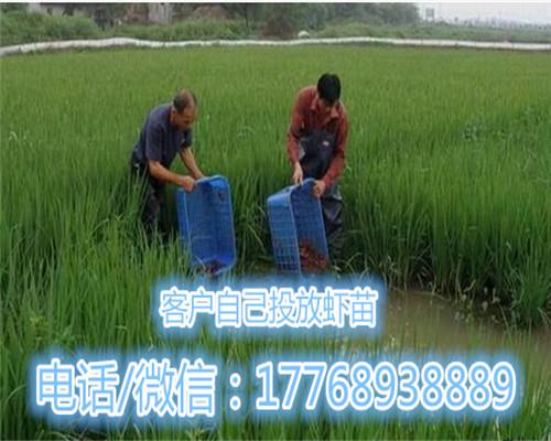 松江供应淡水小龙虾苗批发价格-欢迎您的咨询