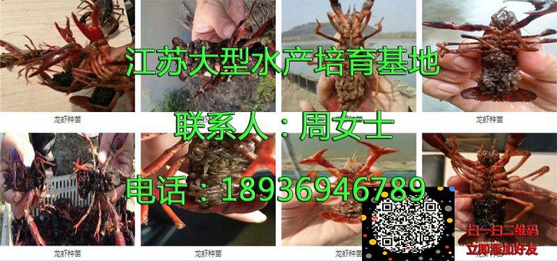 娄底淡水小龙虾多少钱一斤娄底供应厂家
