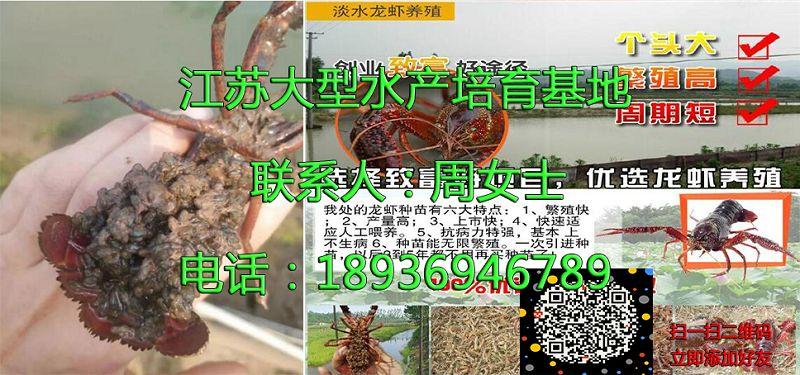 蚌埠固镇小龙虾种虾供应商蚌埠固镇供应厂家