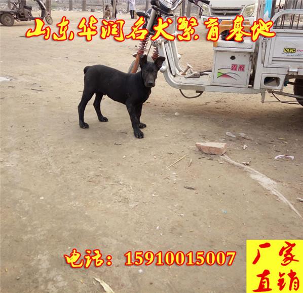 阿图什市黑狼犬价格诚信出售