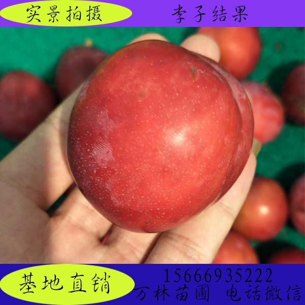 优良品种红美丽李子苗技术指导