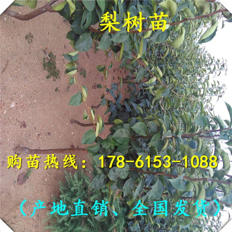 安徽省新品种梨树苗基地、欢迎您选购