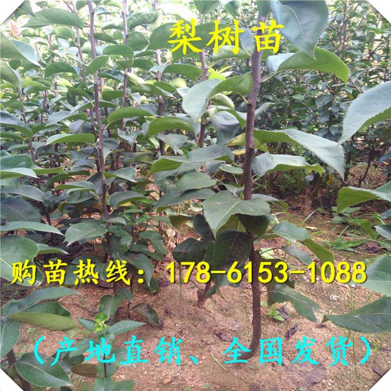 湖北省厂家直销玉露香梨树苗2年、提供技术指导