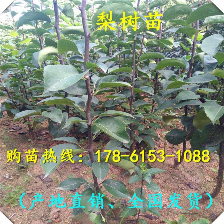 江苏省占地梨树苗实时价格、2018特价出售