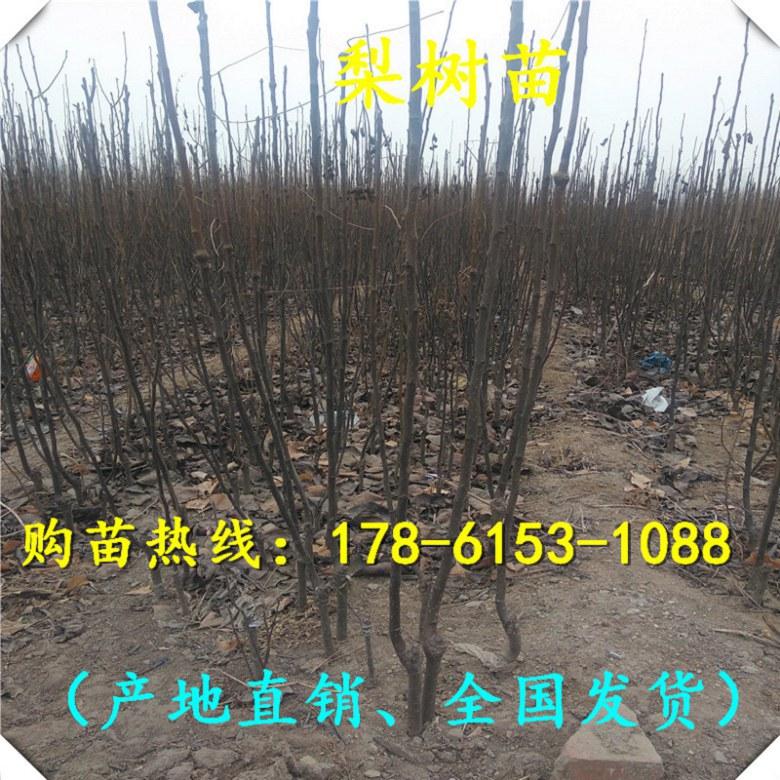 湖南省3公分新梨七号梨树苗报价、基地接受预定