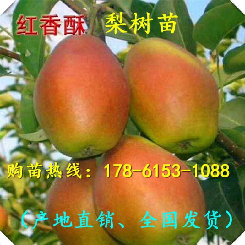 天津占地梨树苗实时价格、品种齐全