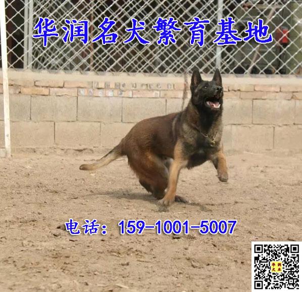 江西瑞金训练好的马犬出售