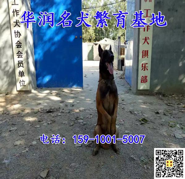 贵州遵义三四个月马犬狗多少钱一条