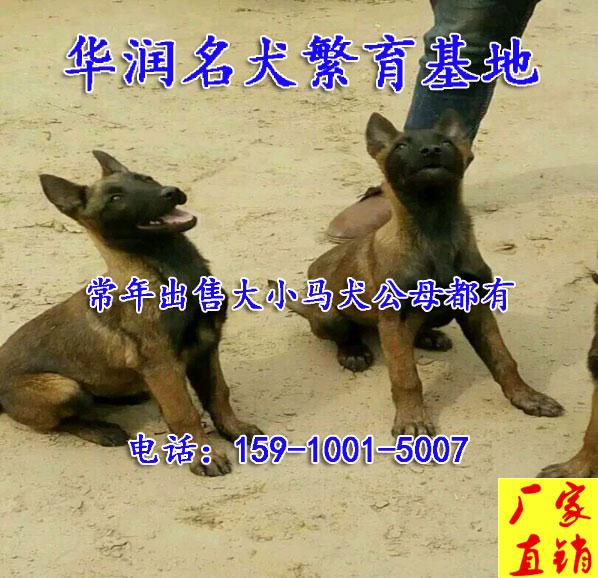 天津汉沽狗场马犬出售自繁自销