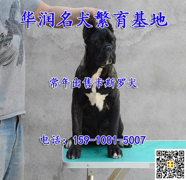 重庆万盛卡斯罗犬出售