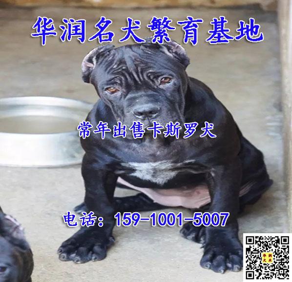 北京丰台卡斯罗犬图片价格
