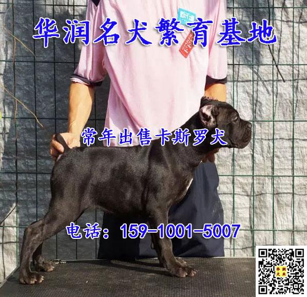 广东增城小卡斯罗犬哪里有卖