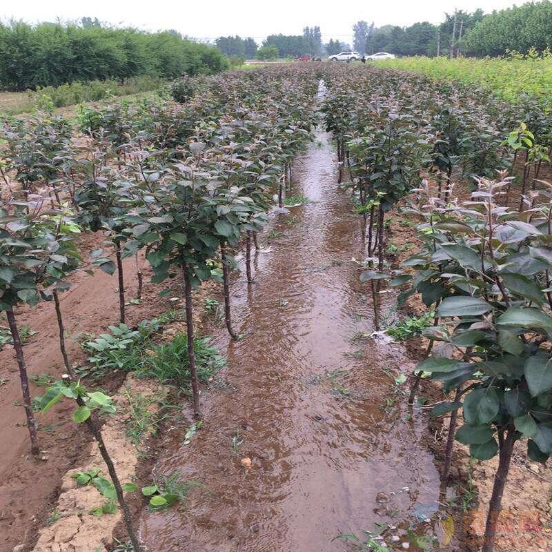 欢迎莅临、荆门九公分中梨一号梨树苗、哪里有卖的