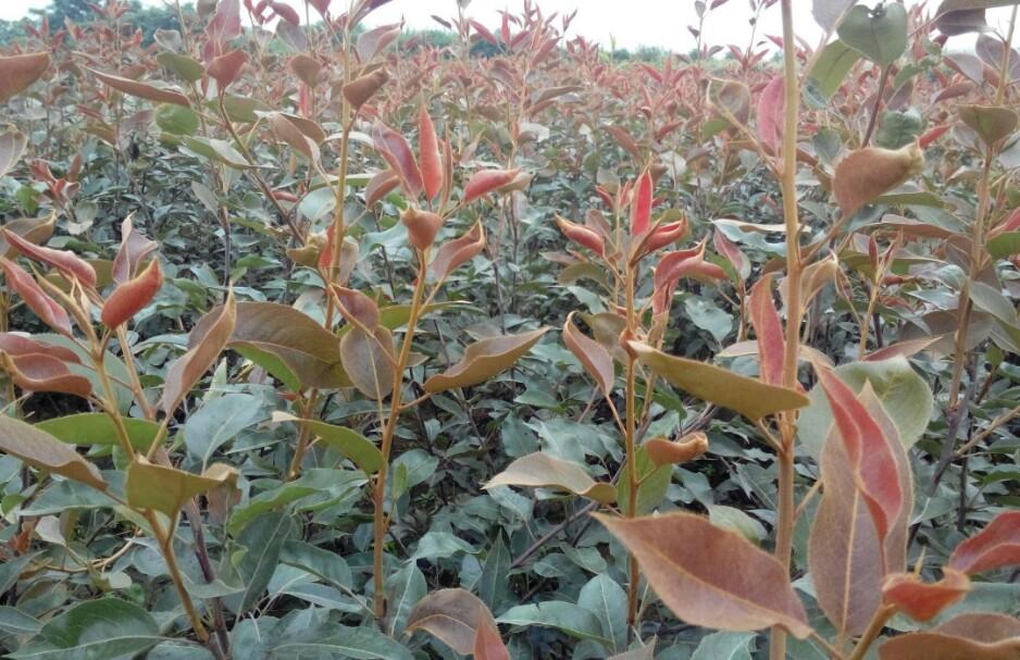 欢迎莅临、太原两年生红梨树苗、哪里的便宜