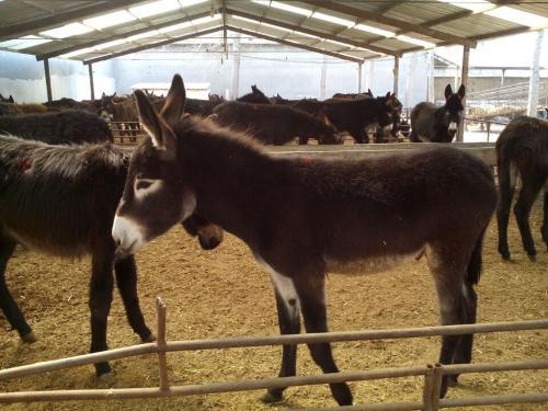 肉驴养殖基地丰台区肉驴代理商
