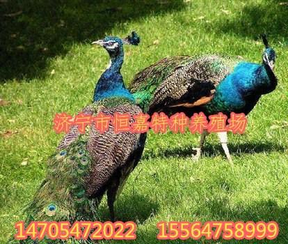 铜川观赏大孔雀价格多少钱一只