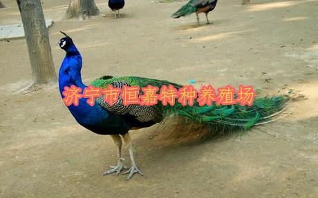 吴忠观赏大孔雀价格多少钱一只