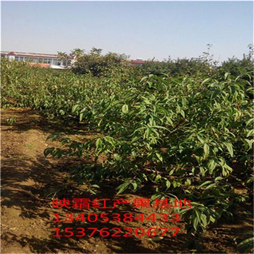 1米高桃树苗四川冬雪王桃树苗优良品种