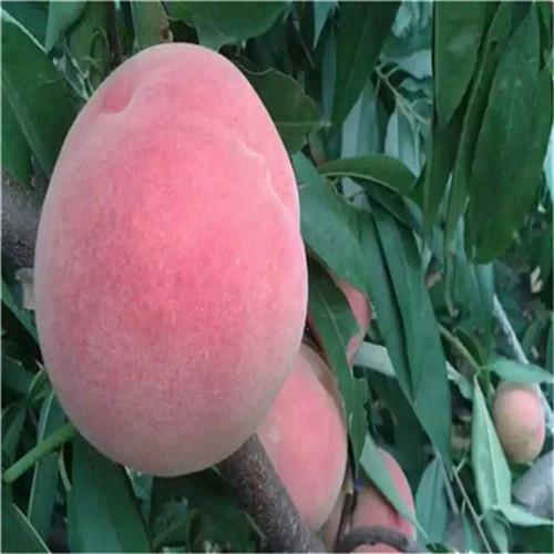 1米高桃树苗贵州黄金蟠桃苗酸甜可口