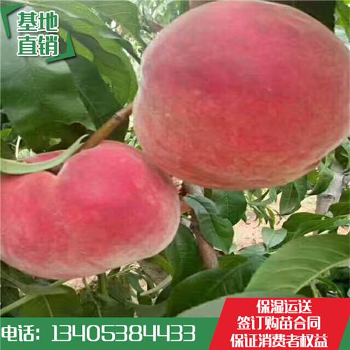 1米高桃树苗单价多少钱金秋红蜜桃苗肉多味醇
