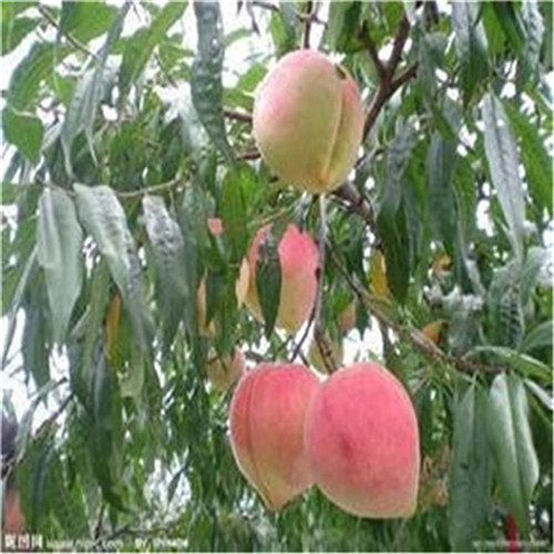 1米高桃树苗单价多少钱金秋红蜜桃苗优良品种