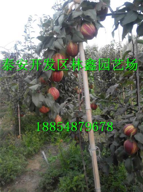 广西玉林哪里有树葡萄苗此处才卖多少钱