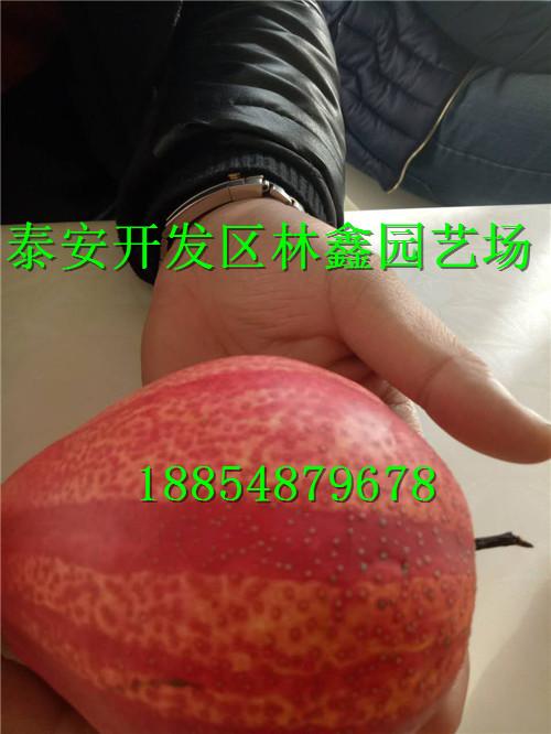 聊城哪里有樱桃苗出场卖多少钱一棵188-5487-9678