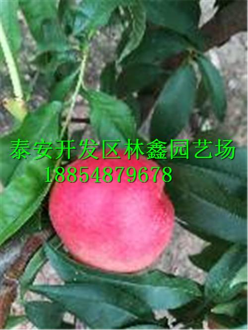 葫芦岛哪里有枣树苗才卖多少钱品种报价