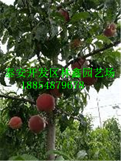 萍乡哪里有油桃苗批发2公分的价格是多少188-5487-9678