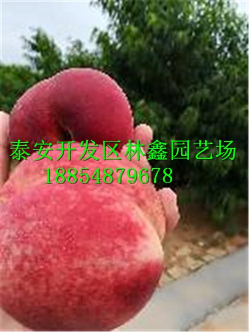 晋城哪里有枣树苗哪里还有多少钱一棵