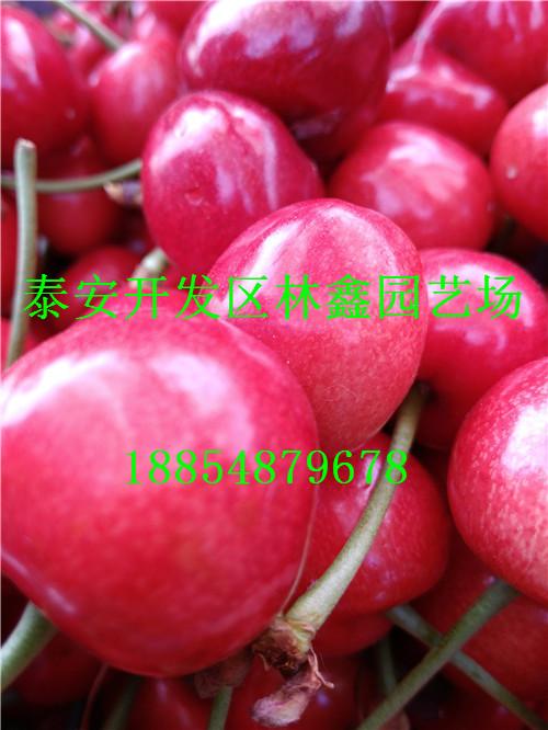 张掖哪里有杏树苗主产区品种报价