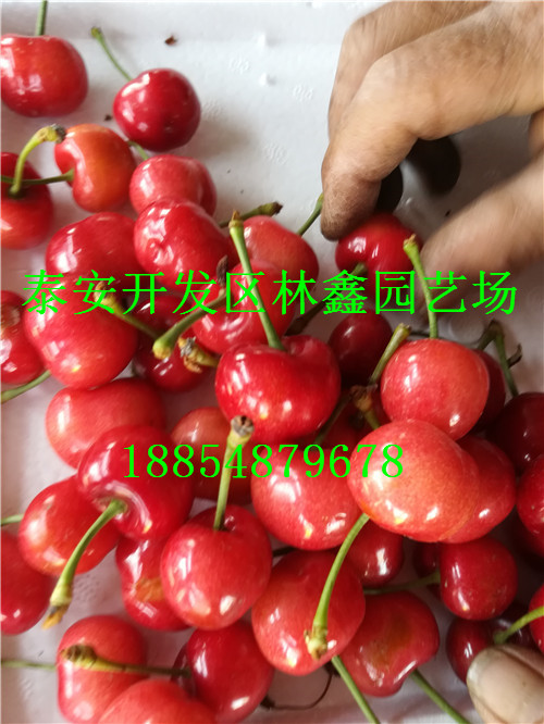 济南哪里有樱桃苗哪里还有多少钱一棵