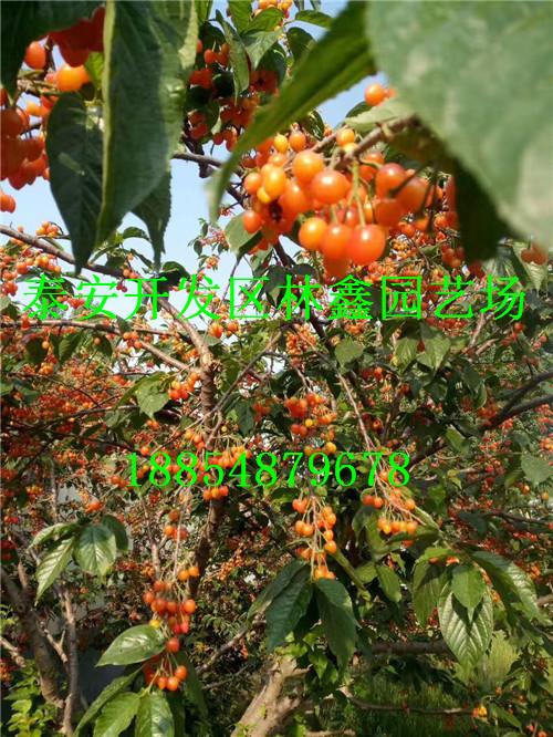 威海哪里有黑枣苗出场卖多少钱一棵188-5487-9678