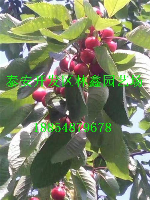 薄皮核桃苗扬州市加盟种植基地