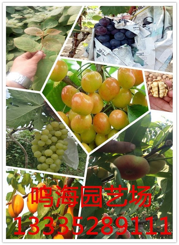 杭州黑总统李子苗苗木基地