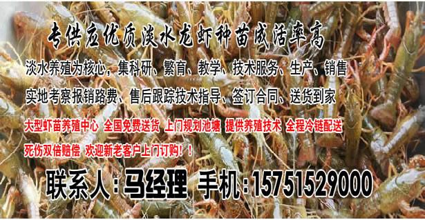 龙山县精养塘龙虾技术-拇指大小龙虾苗价钱