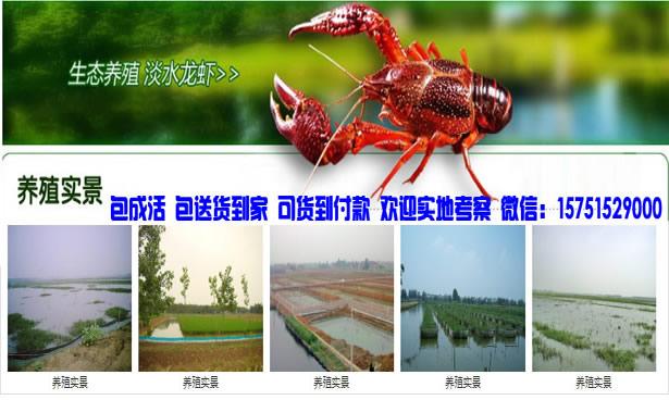 博湖县精养塘龙虾技术-拇指大小龙虾苗价钱