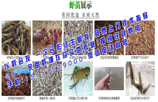 富裕县红烧龙虾苗行情-富裕县红烧用的虾苗多少钱