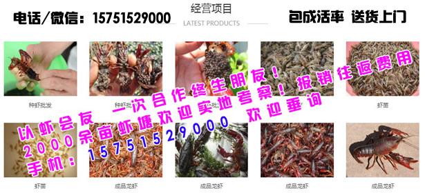 铜川市养殖龙虾利润-铜川市龙虾种苗价钱多少
