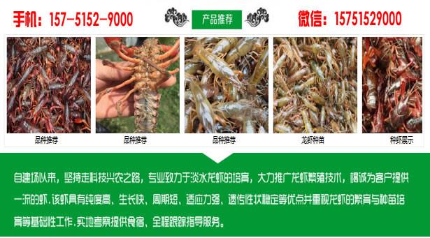 宁化县小龙虾种苗批发宁化县大龙虾苗价格