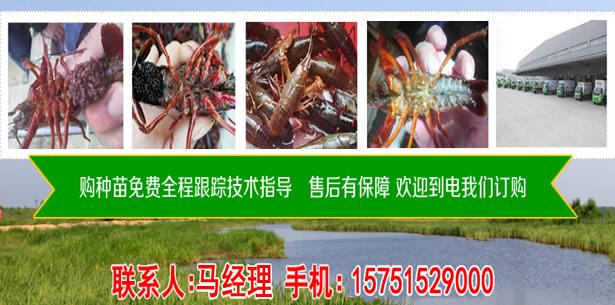 双柏县龙虾2019养殖如何-双柏县龙虾种苗多少钱
