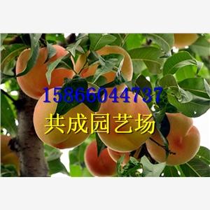 滨州沾化县销售的梨树苗货源