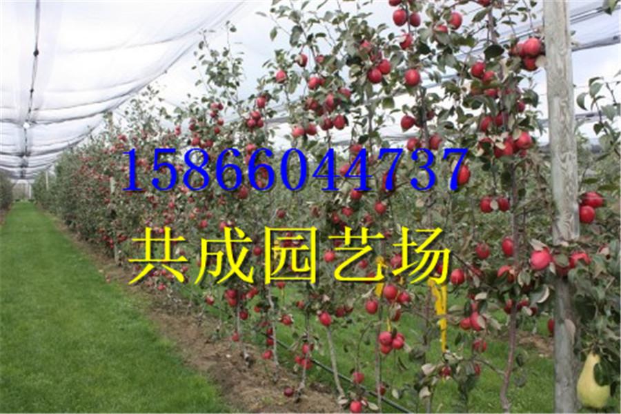 哪里有九花椒树苗推广云南省普洱市