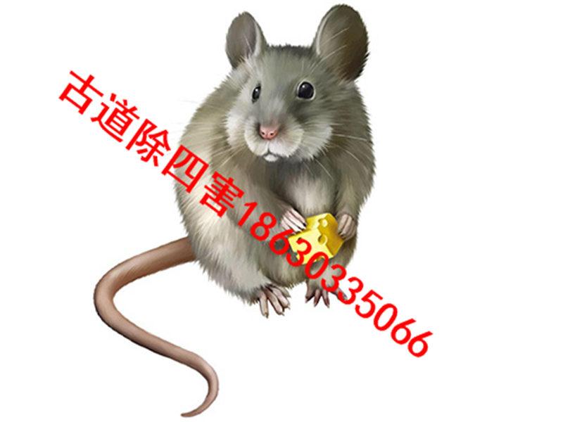 秦皇岛除老鼠,您身边的好伴侣-服务好的除老鼠